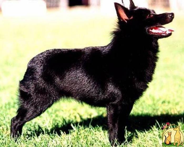 Шипперке (шкиперская собака, шкиперке) — описание породы собак