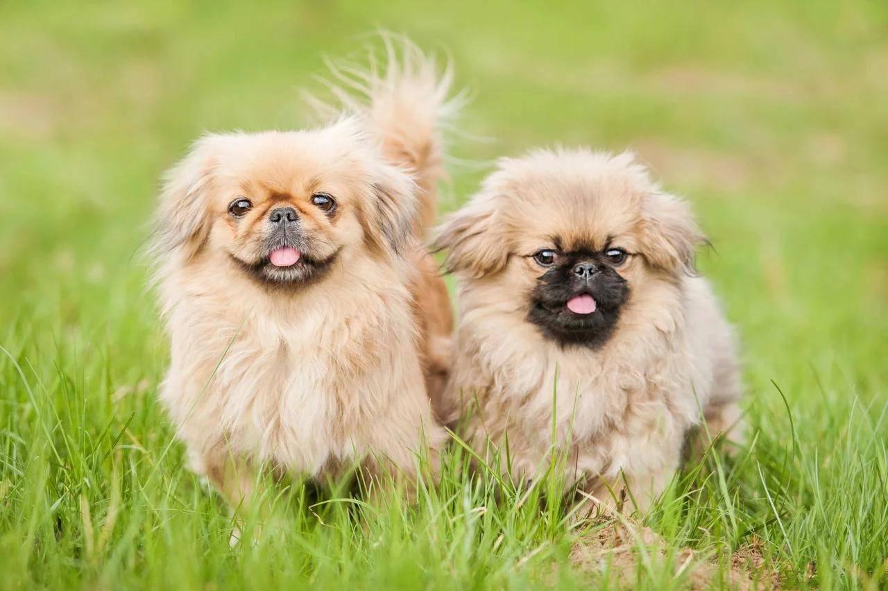 Собаки пикинески: фото, характеристики и цена пекинесов