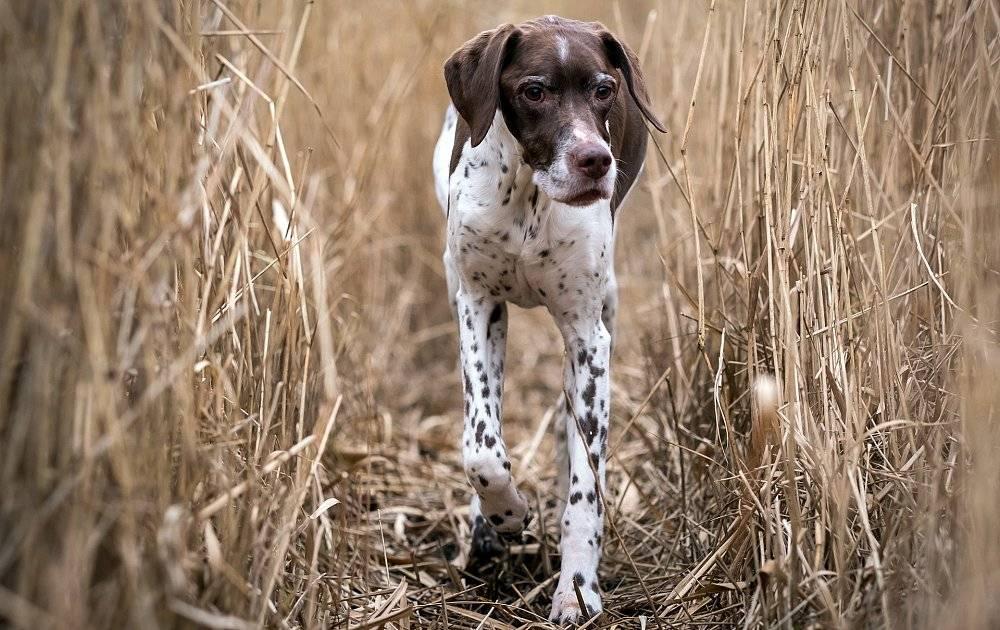 Английский пойнтер - порода собак - информация и особенностях   хиллс