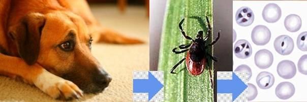 Энцефалит у собак: причины, стадии, симптомы и лечение