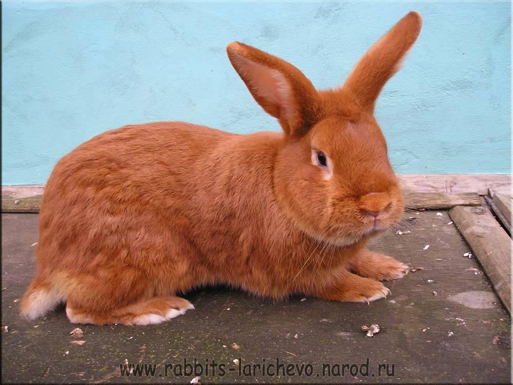 Кролики породы новозеландская белая