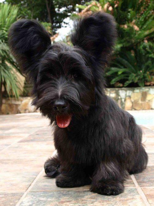 Скай терьер собака. описание, особенности, уход и цена скай терьера | животный мир