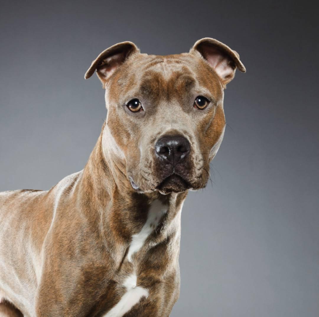 Американский питбультерьер: отзывы. «американский питбуль – это собака для человека»