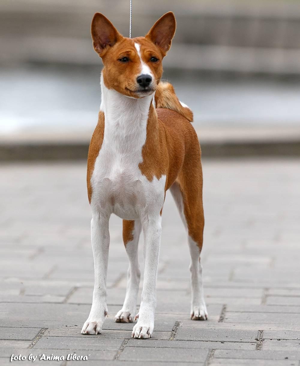 Басенджи: всё о собаке, описание породы и характеристика, фото, видео | dogkind.ru