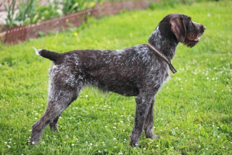 Дратхаар собака. описание, особенности, уход и цена дратхаара | животный мир