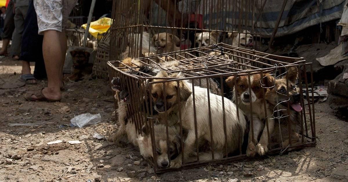Жестокость и традиции: что заставляет корейцев есть собак