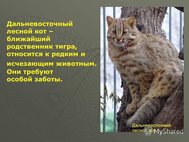Уникальность и значимость амурского лесного кота