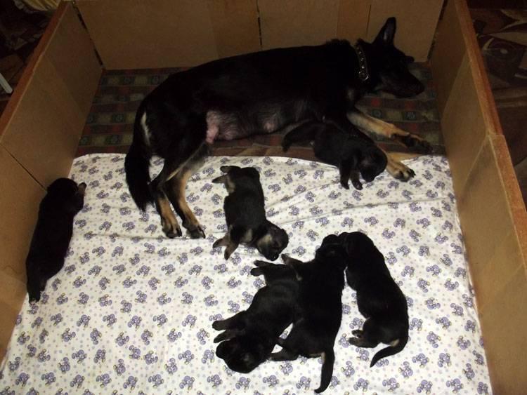 Сколько длится беременность у собак: срок вынашивания щенков