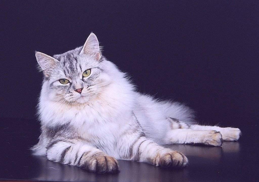 Хвостатые добряки: самые ласковые породы кошек