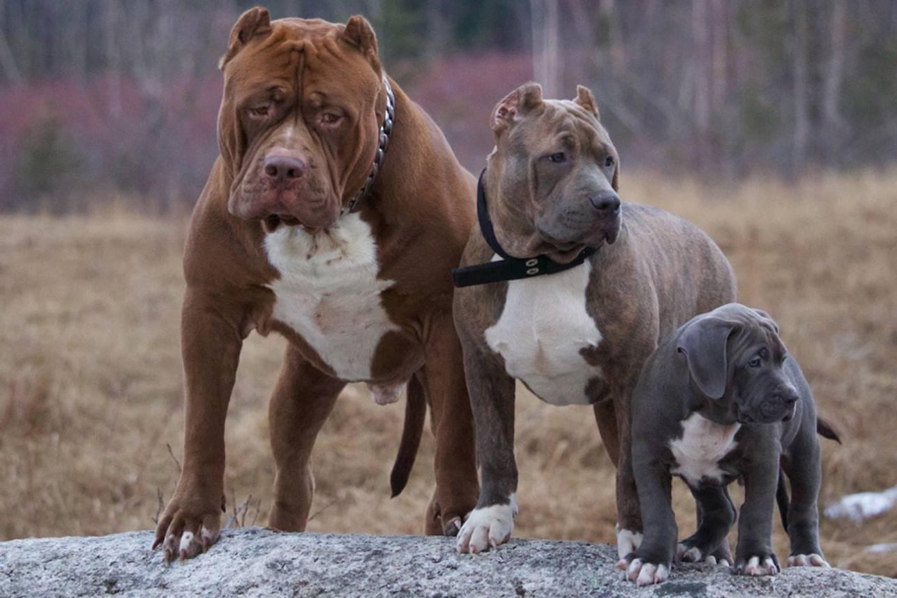 Самые сильные собаки (35 фото): представители каких пород самые сильные в мире? топ-10 самых больших и сильных собак на планете