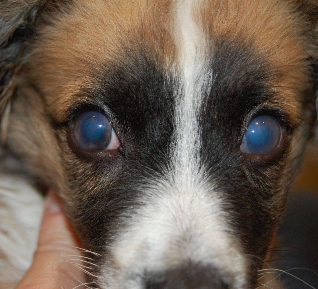 Аденовирусная инфекция у собак: симптомы и лечение опасного заболевания