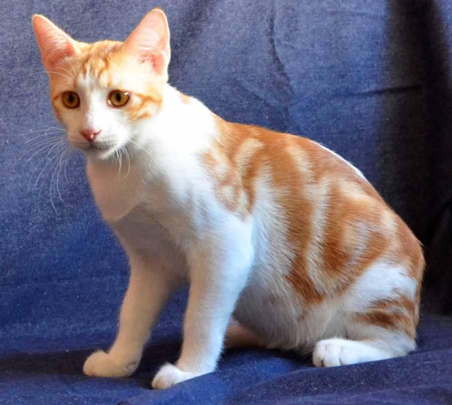 Анатолийская кошка: описание турецкой короткошерстной породы, фото и цена котенка