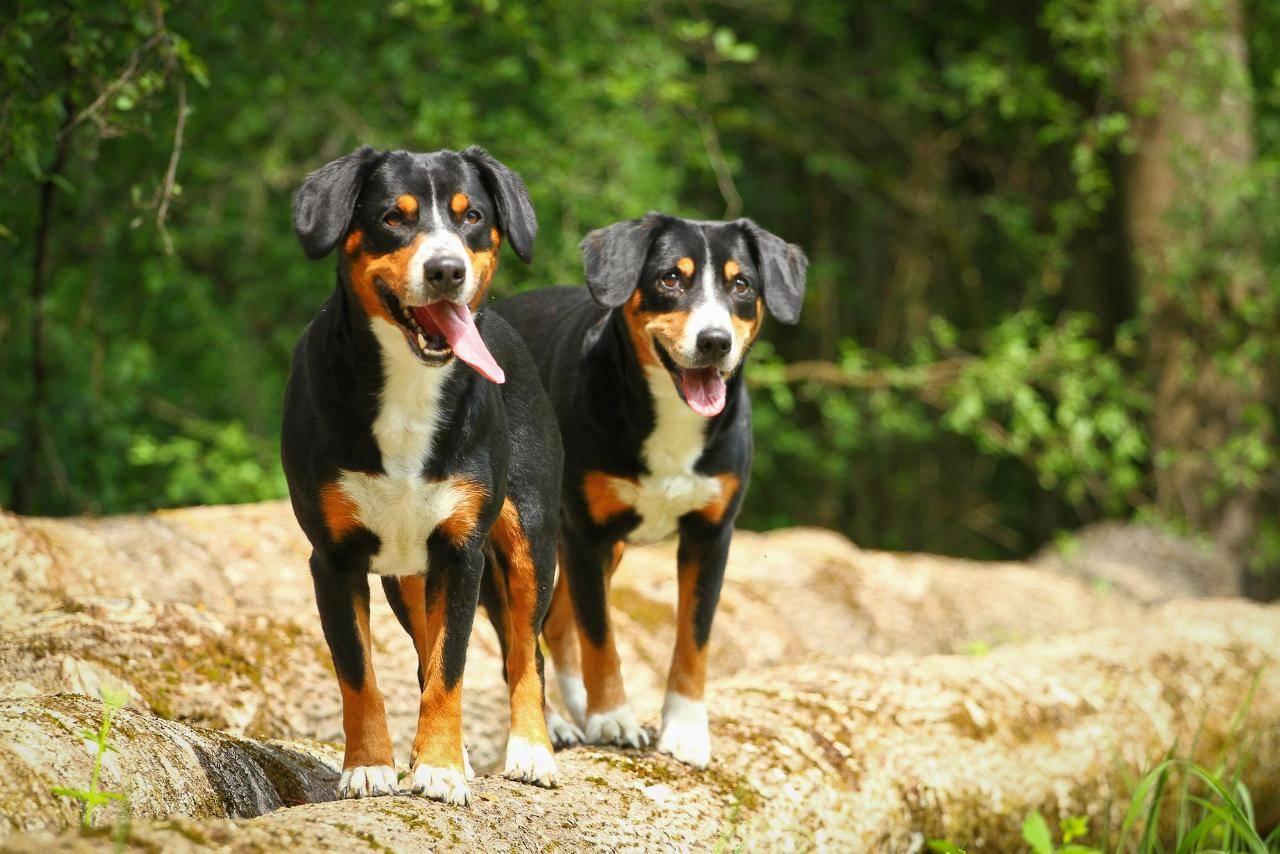 Бернский зенненхунд собака. описание, особенности, уход и цена породы | sobakagav.ru
