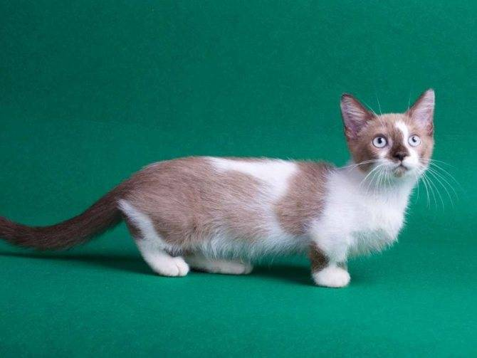 Манчкин: фото и подробное описание кошки-коротконожка