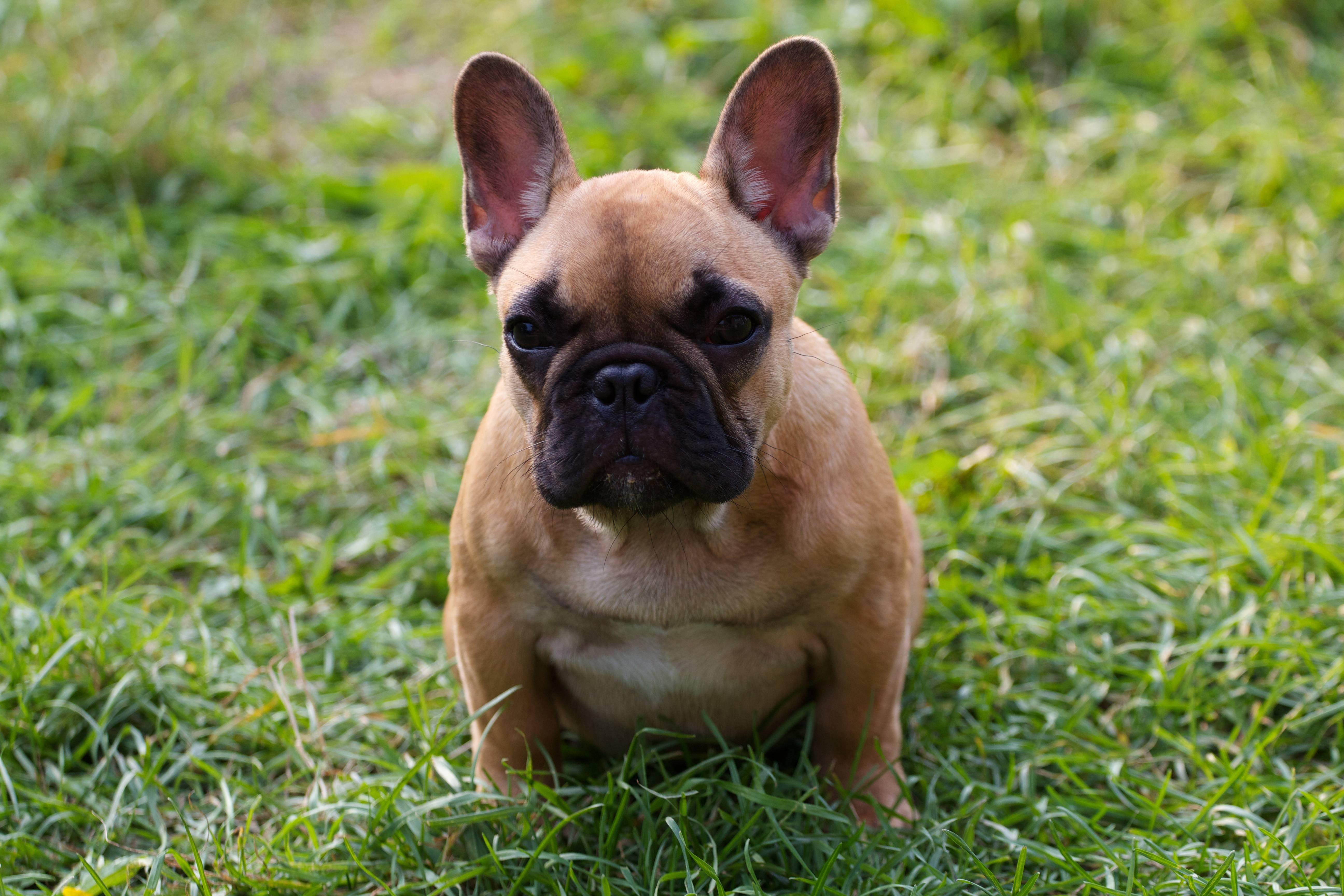 Французский бульдог — все собаки тут