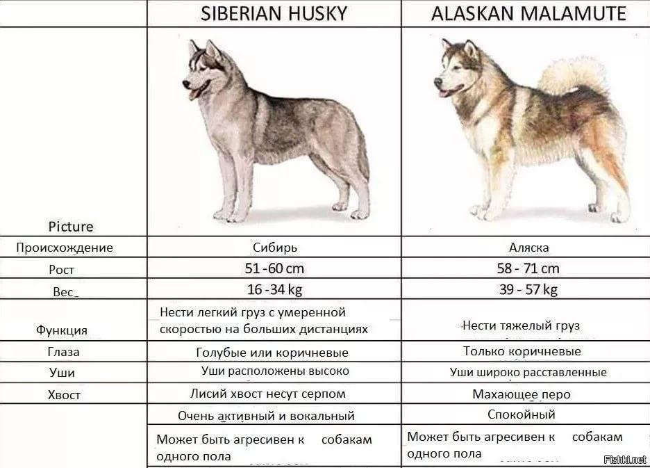 Маламут и хаски отличия: в чем разница от аляскинского питомца, как выглядят на фото и кто лучше для домашнего содержания