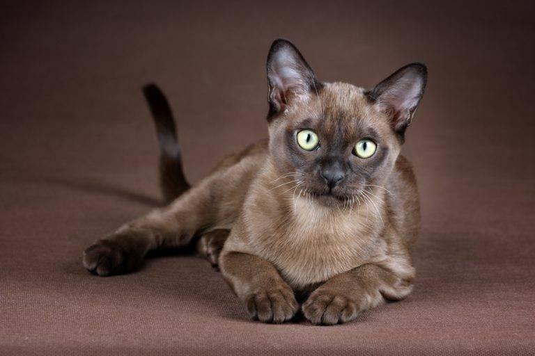 Кошка бурмилла: описание породы, характер и особенности содержания, фото, выбор котенка, отзывы владельцев, разведение котов