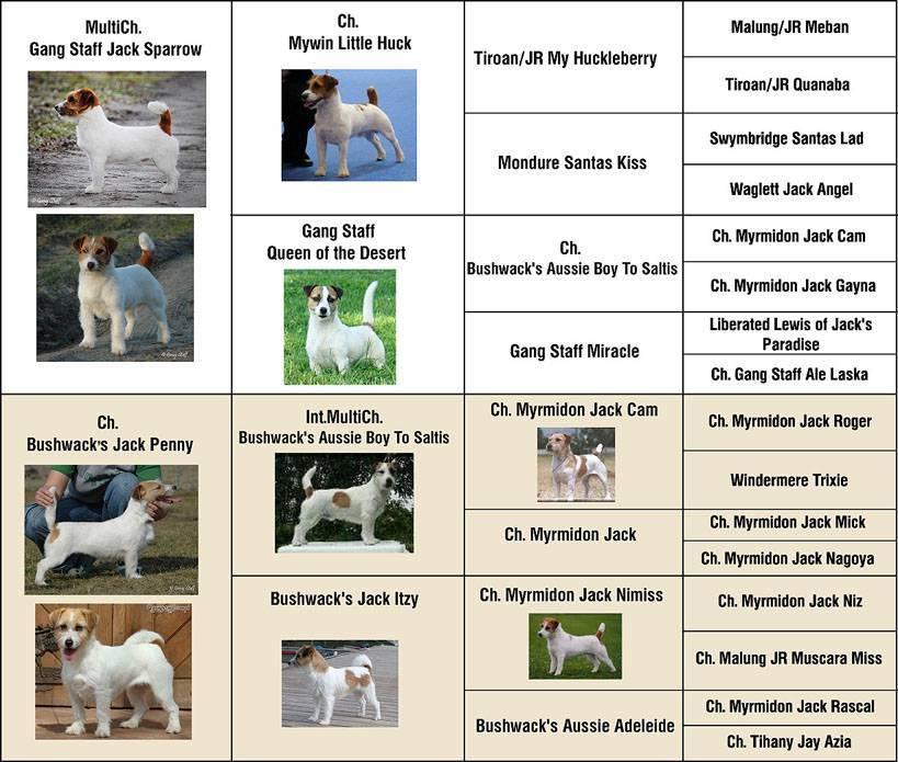 Гладкошерстный джек-рассел-терьер (21 фото): характеристики короткошерстной разновидности породы, уход за щенками
