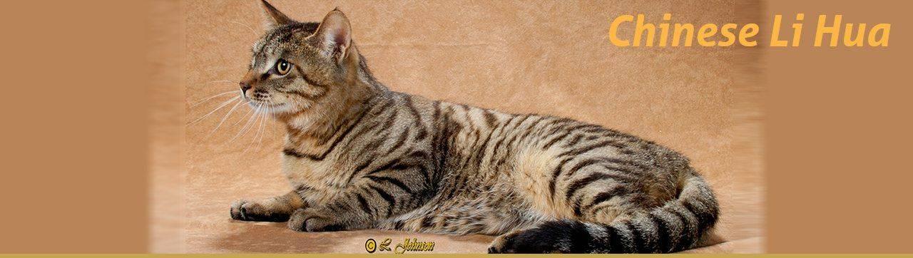 Китайская кошка ли хуа: особенности породы и характера, размножение
