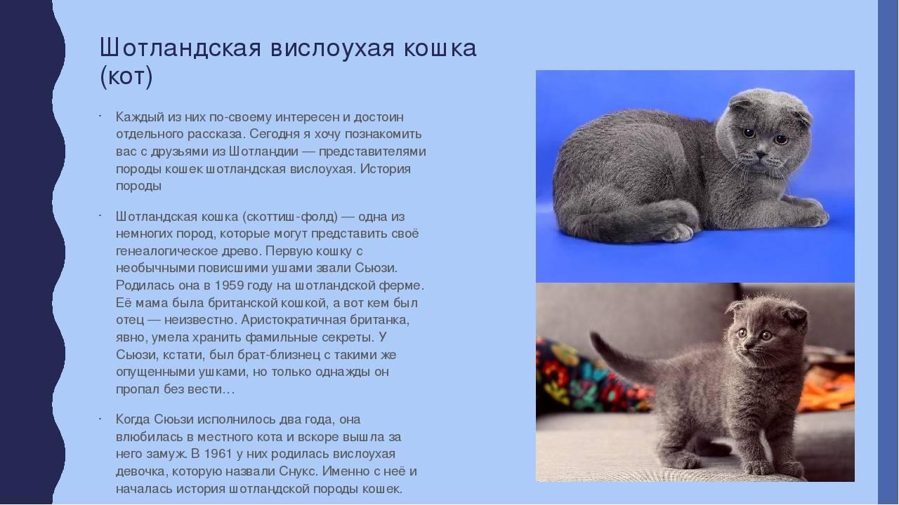 Шотландские лиловые котята (21 фото): особенности окраса кошек. с каким цветом глаз рождаются шотландские лиловые котята?