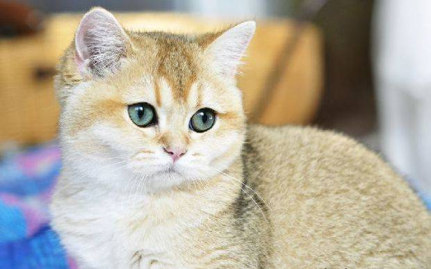 Кошка шиншилла – описание и история породы, характер, особенности ухода