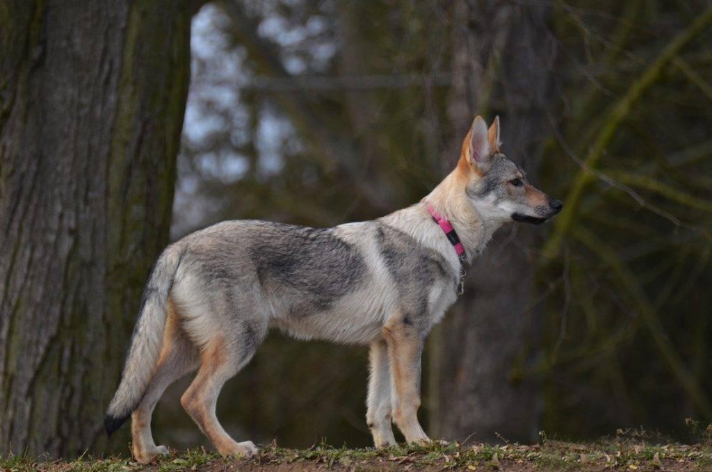 Чехословацкий волчак — чешская волчья собака: надежный друг и защитник. питомники — где купить чешского волчака и какова цена? фото щенков