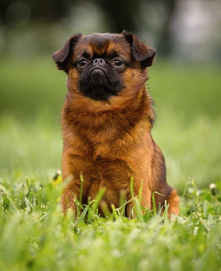 Пти-брабансоны (74 фото): описание породы собак, плюсы и минусы взрослых гладкошерстных брабантских гриффонов, размеры щенков, отзывы владельцев