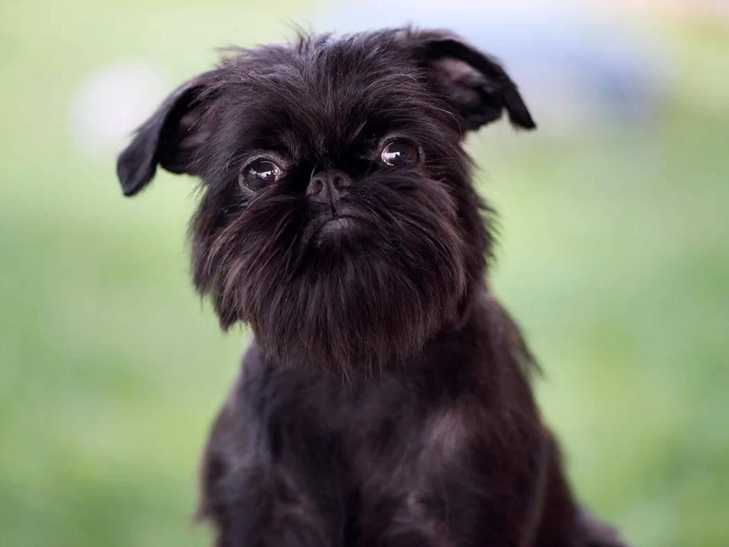Характеристики собак грифонов: фото бельгийской породы