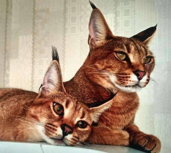 Всё о породе кошек каракет: фото как выглядит, особенности ухода, отзывы