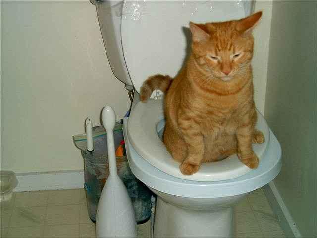 """Понос у кота: причины, симптомы, диагностика, методы лечения, прогноз, осложнения   блог ветклиники """"беланта"""""""