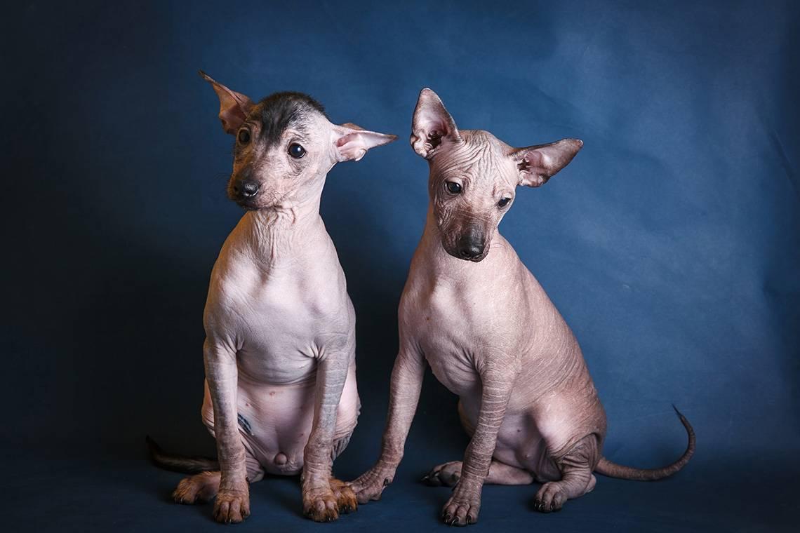 Отличия от других голых собак