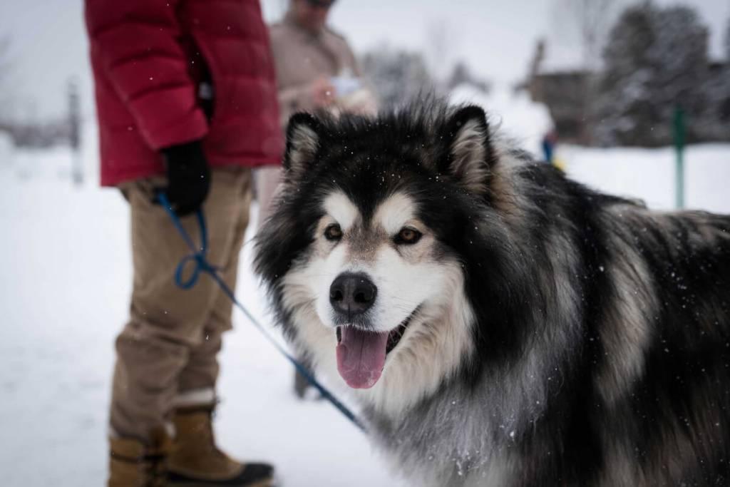Аляскинский маламут собака. описание, уход и цена аляскинского маламута | sobakagav.ru