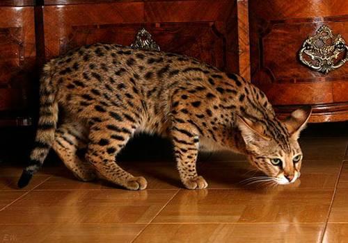 Самые дорогие кошки: топ-10 | с фото и ценами