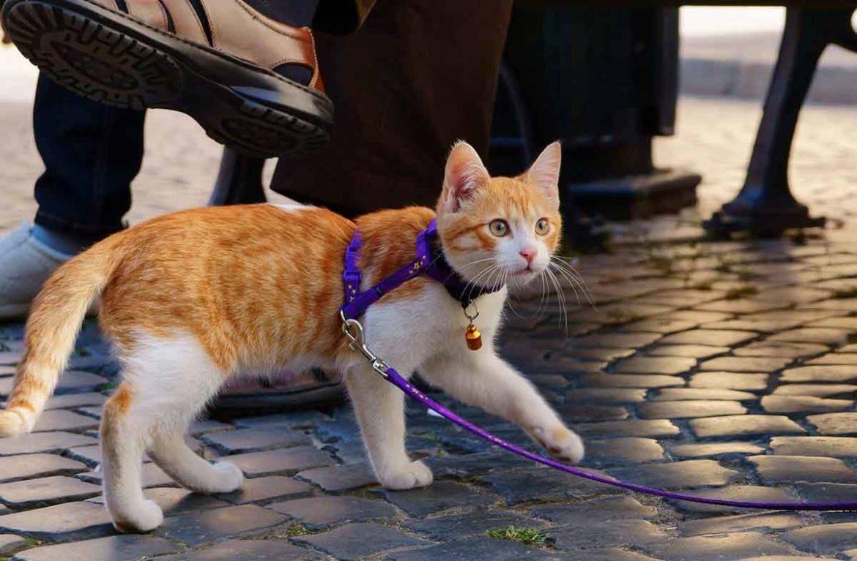 Как правильно выбрать и одеть шлейку или ошейник для кошки