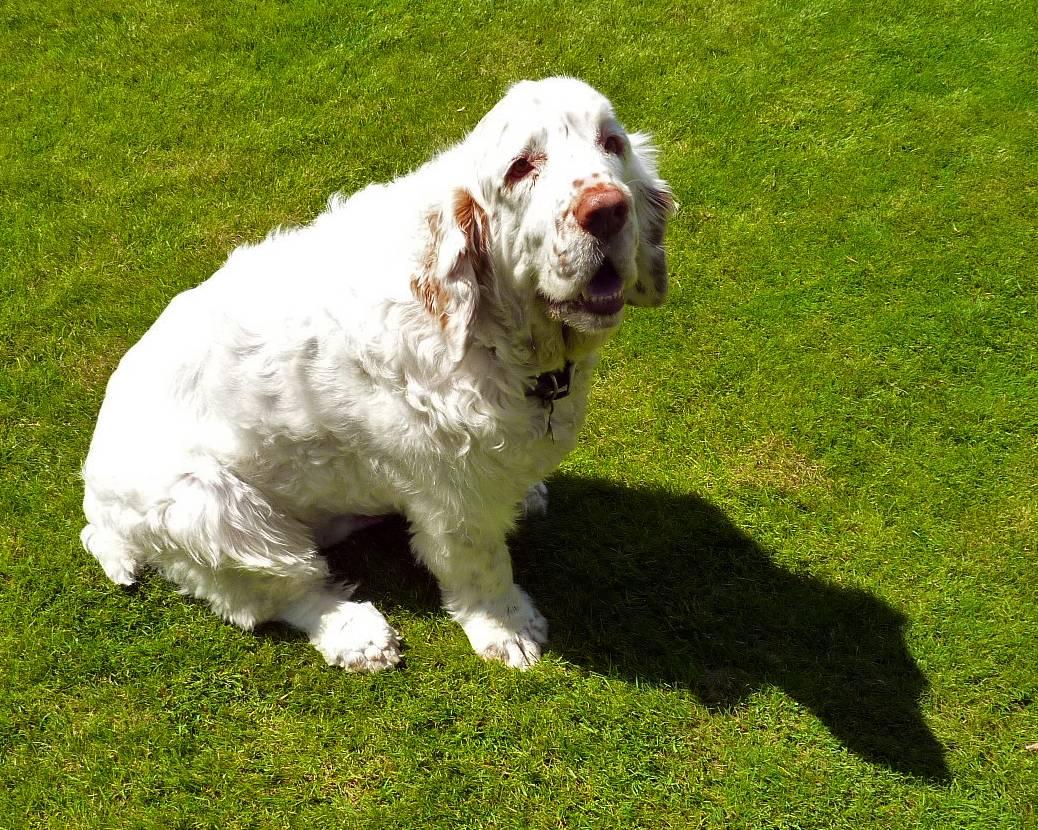 Кламбер-спаниель. фото и описание породы кламбер-спаниель. фото и описание породы