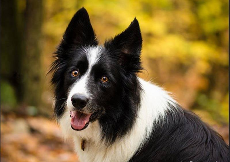Самые умные породы собак в мире ( + фото )