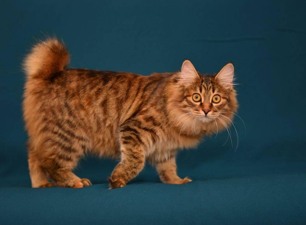 Курильский бобтейл – порода кошек с коротким хвостом