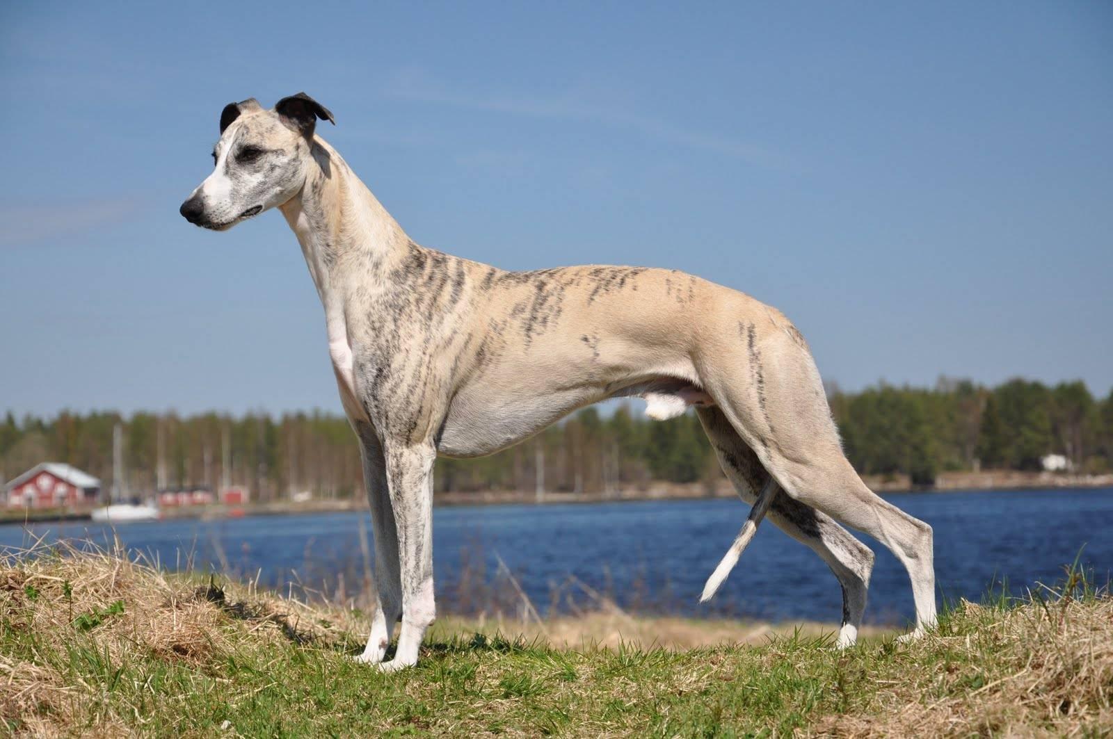 Описание породы собак уиппет с отзывами владельцев и фото