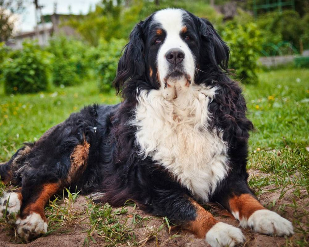Бернская горная пастушья собака (бернский зенненхунд)