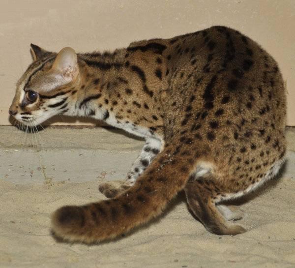 Кошки леопардовые: описание пород, характер, особенности ухода, история