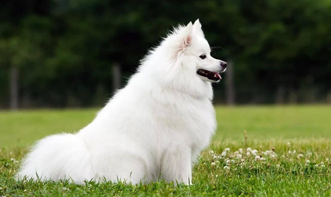 Подробное описание породы американских эскимосских шпицев: что это за собака