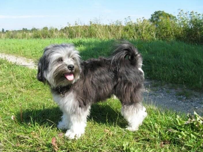 Левхен (малая львиная собака): описание породы, уход, цена