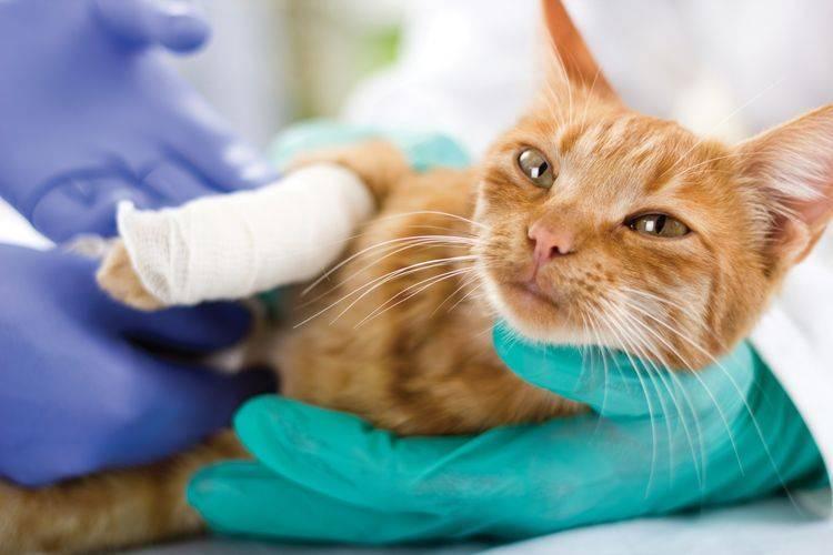 Заболевания вестибулярного аппарата у кошек