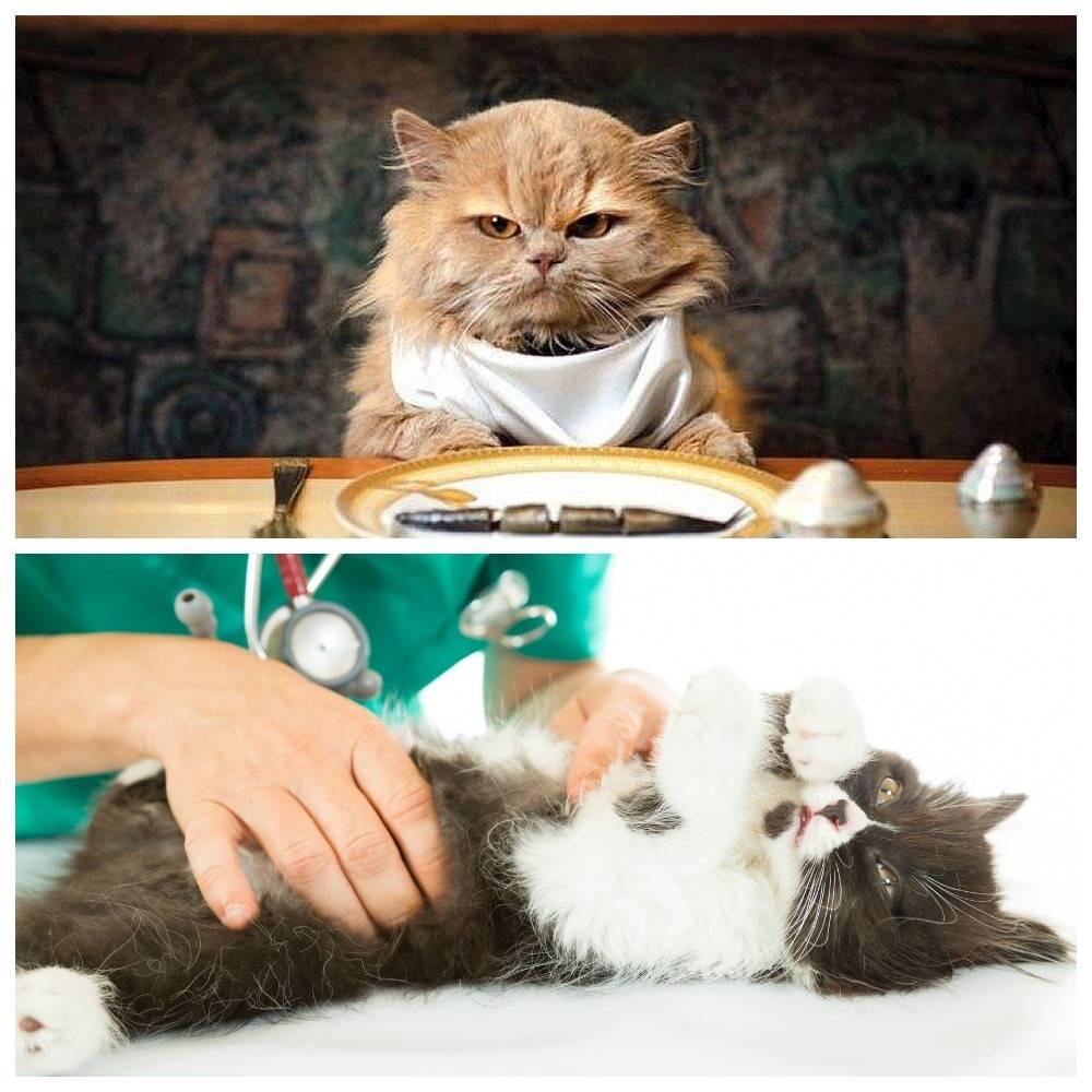 Сколько времени кот или кошка могут прожить без еды и воды