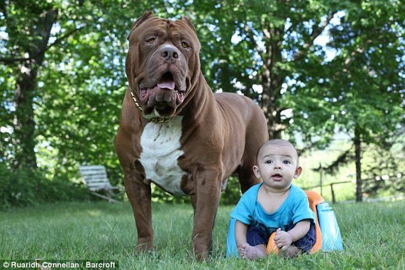 Питбуль Халк: самый большой в мире пес