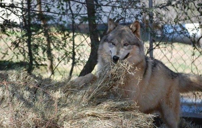 Чехословацкая волчья собака: описание чешского волчака, характер породы, правила содержания