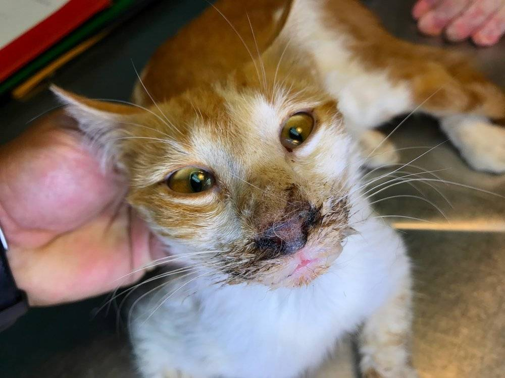 Пена изо рта у кошки: причина и что делать