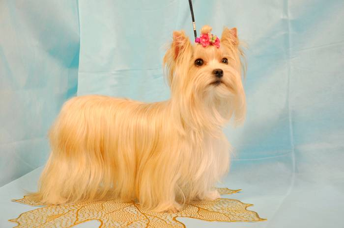 Русская салонная собака: фото, описание породы и рекомендации по уходу