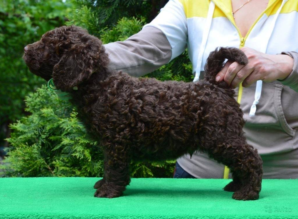 Португальская водяная собака: фото, описание породы собак, характер и история
