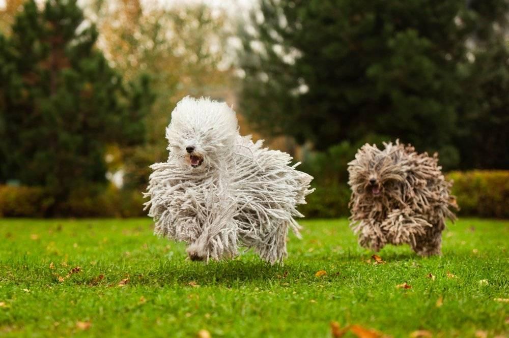 Комондор — описание породы, характеристика, уход, фото венгерских овчарок и многое другое
